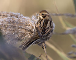 Reed Bunting photographed at Claire Mare [CLA] on 24/11/2014. Photo: © Mike Cunningham