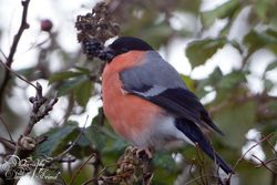 Bullfinch photographed at St Andrew (Parish) on 24/11/2014. Photo: © Danielle Friend
