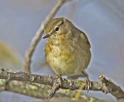 Chiffchaff photographed at Rue des Bergers [BER] on 24/11/2014. Photo: © Mike Cunningham