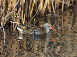 Water Rail photographed at Claire Mare [CLA] on 6/12/2014. Photo: © Mike Cunningham