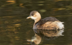 Little Grebe photographed at Reservoir [RES] on 6/12/2014. Photo: © Anthony Loaring