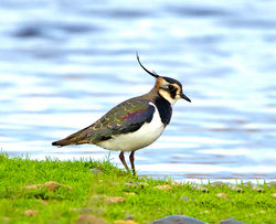 Lapwing photographed at Claire Mare [CLA] on 16/12/2014. Photo: © Mike Cunningham