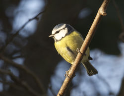 Blue Tit photographed at St Sampsons on 29/12/2014. Photo: © Karen Jehan