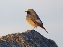 Black Redstart photographed at Pulias [PUL] on 30/12/2014. Photo: © Mark Guppy