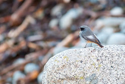 Black Redstart photographed at Pulias [PUL] on 29/12/2014. Photo: © Andy Marquis