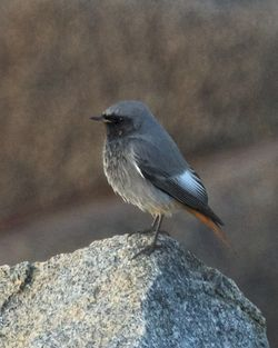 Black Redstart photographed at Pulias [PUL] on 31/12/2014. Photo: © Cindy  Carre