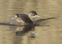 Little Grebe photographed at Grands Marais/Pre [PRE] on 2/1/2015. Photo: © Karen Jehan
