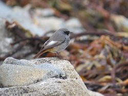 Black Redstart photographed at Pulias [PUL] on 1/1/2015. Photo: © Mark Guppy
