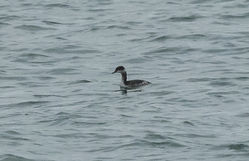 Black-necked Grebe photographed at Rousse [ROU] on 4/1/2015. Photo: © Anthony Loaring