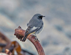 Black Redstart photographed at Pulias [PUL] on 8/1/2015. Photo: © Mike Cunningham