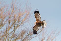 Marsh Harrier photographed at Rue des Bergers [BER] on 13/1/2015. Photo: © Rod Ferbrache