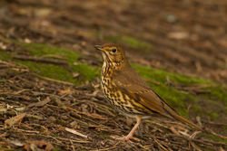 Song Thrush photographed at Saumarez Park [SAU] on 14/1/2015. Photo: © Rod Ferbrache