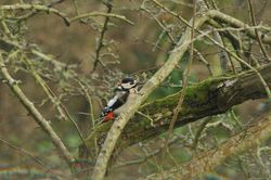 Great Spotted Woodpecker photographed at Les Truchots, St. Andrews on 10/1/2015. Photo: © Shane Giles