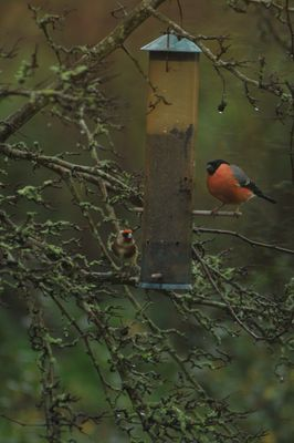 Bullfinch photographed at Les Truchots, St.Andrews on 10/1/2015. Photo: © Shane Giles