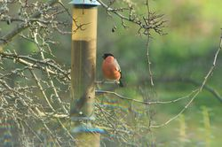 Bullfinch photographed at Les Truchots, St. Andrews on 10/1/2015. Photo: © Shane Giles