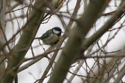 Great Tit photographed at Bas Capelles on 21/1/2015. Photo: © Rod Ferbrache