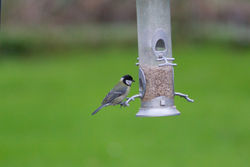 Great Tit photographed at Select location on 21/1/2015. Photo: © Rod Ferbrache
