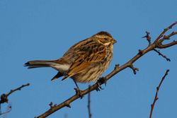 Reed Bunting photographed at Corbiere [COR] on 23/1/2015. Photo: © Adrian Gidney