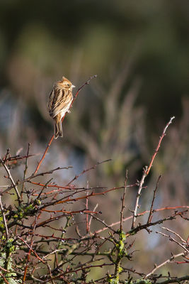 Reed Bunting photographed at Corbiere [COR] on 26/1/2015. Photo: © Rod Ferbrache