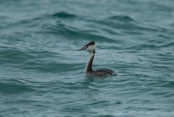 Great Crested Grebe photographed at Grandes Rocques [GRO] on 27/1/2015. Photo: © Jason Friend