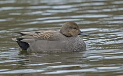 Gadwall photographed at Saumarez Park [SAU] on 27/1/2015. Photo: © Anthony Loaring