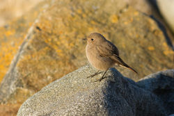 Black Redstart photographed at Pulias [PUL] on 15/2/2015. Photo: © Rod Ferbrache
