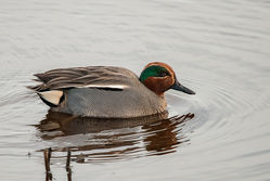 Teal photographed at Claire Mare [CLA] on 16/2/2015. Photo: © Jason Friend