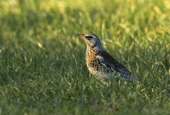 Fieldfare photographed at St Andrew (Parish) on 14/2/2015. Photo: © Anthony Loaring