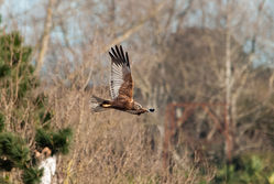 Marsh Harrier photographed at Vale Pond [VAL] on 18/2/2015. Photo: © Jason Friend