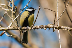 Great Tit photographed at Petit Bot [BOT] on 18/2/2015. Photo: © Jason Friend