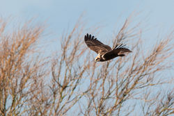 Marsh Harrier photographed at Rue des Bergers [BER] on 23/2/2015. Photo: © Jason Friend