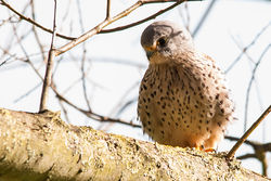Kestrel photographed at Rue des Bergers [BER] on 24/2/2015. Photo: © Jason Friend