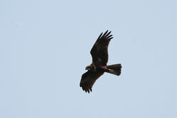 Marsh Harrier photographed at Rue des Bergers [BER] on 24/2/2015. Photo: © Jason Friend