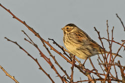 Reed Bunting photographed at Bigard [BIG] on 25/2/2015. Photo: © Anthony Loaring