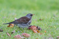 Fieldfare photographed at Bas Capelles [BAS] on 28/2/2015. Photo: © Rod Ferbrache