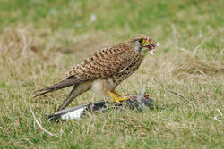 Kestrel. Photo: © Jason Friend