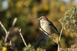 House Sparrow photographed at Chouet Refuse Tip [CH2] on 4/3/2015. Photo: © Jason Friend