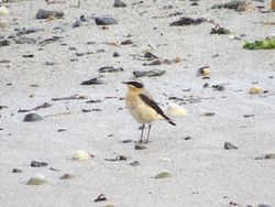 Wheatear photographed at Vazon [VAZ] on 8/3/2015. Photo: © Mark Guppy