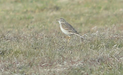 Richard's Pipit photographed at Pleinmont [PLE] on 8/3/2015. Photo: © Judy Down