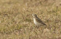 Richard's Pipit photographed at Pleinmont [PLE] on 8/3/2015. Photo: © Anthony Loaring