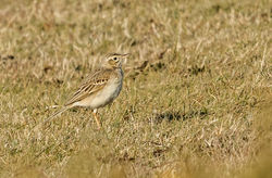 Richard's Pipit photographed at Pleinmont [PLE] on 6/3/2015. Photo: © Anthony Loaring