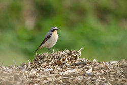 Wheatear photographed at Rue des Hougues, STA [H04] on 8/3/2015. Photo: © Jason Friend
