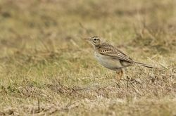 Richard's Pipit photographed at Pleinmont [PLE] on 10/3/2015. Photo: © Anthony Loaring