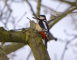 Great Spotted Woodpecker photographed at Saumarez Park [SAU] on 12/3/2015. Photo: © Royston Carr�