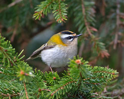 Firecrest photographed at St Peter Port [SPP] on 16/3/2015. Photo: © Mike Cunningham