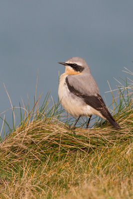Wheatear photographed at Fort Hommet [HOM] on 17/3/2015. Photo: © Rod Ferbrache