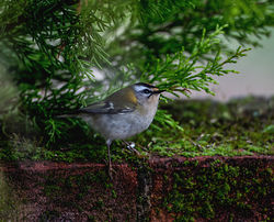 Firecrest photographed at St Peter Port [SPP] on 19/3/2015. Photo: © Mike Cunningham