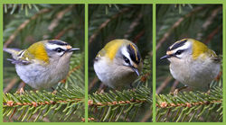 Firecrest photographed at St Peter Port [SPP] on 21/3/2015. Photo: © Mike Cunningham