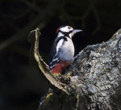 Great Spotted Woodpecker photographed at Saumarez Park [SAU] on 23/3/2015. Photo: © Mike Cunningham