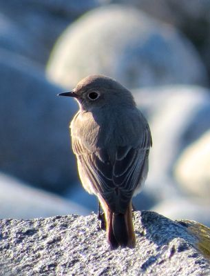 Black Redstart photographed at Pulias [PUL] on 25/3/2015. Photo: © Mark Guppy